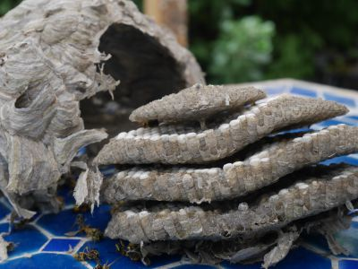Inside and out of a wasps nest by Carol C