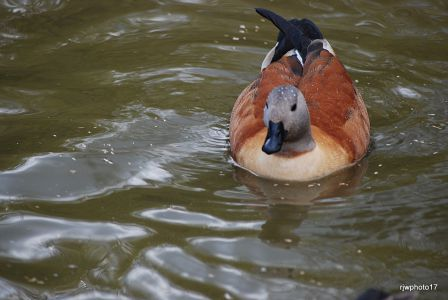 Duck at Slimbridge by Richard