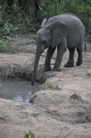 Elephant drinking by Denise