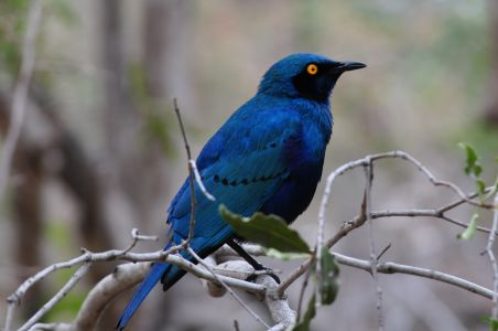 Glossy starling by Denise