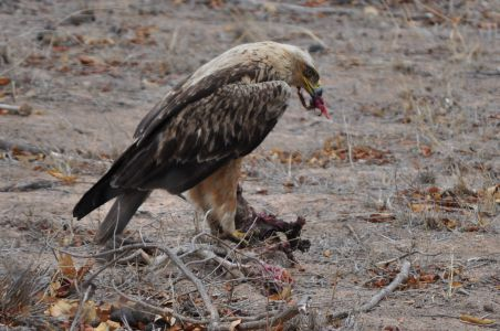 Booted Eagle by Denise
