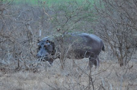 Hippo in the trees by Denise