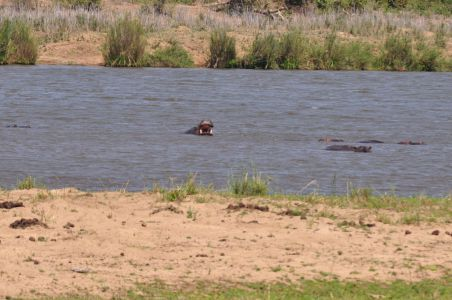 Hippos in the river by Denise