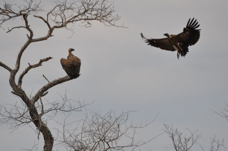 Vultures by Denise