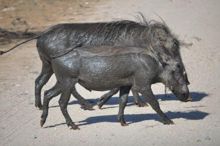 Warthogs by Denise